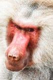 Baboon portrait. Portrait of a baboon monkey & x28;Papio hamadryas& x29 stock photography