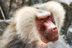 Baboon portrait. Portrait of a baboon monkey Papio hamadryas stock photography