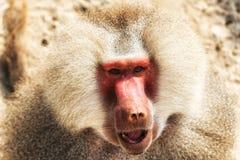 Baboon portrait. Portrait of a baboon monkey & x28;Papio hamadryas& x29 stock image
