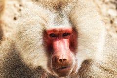 Baboon portrait. Portrait of a baboon monkey & x28;Papio hamadryas& x29 royalty free stock photos