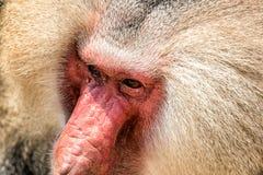 Baboon portrait. Portrait of a baboon monkey & x28;Papio hamadryas& x29 royalty free stock images