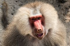 Baboon portrait. Portrait of a baboon monkey Papio hamadryas royalty free stock photos
