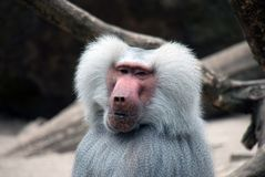 Portrait of a baboon monkey. With a lot of fur and a pink-red face stock images