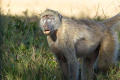 Portrait of a baboon Stock Photo