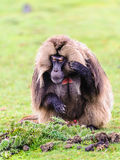 Portrait of a baboon. Scary Hamadryas baboon (Papio hamadryas), a species of baboon from the Old World monkey family royalty free stock photos