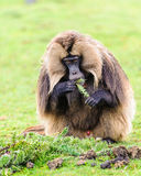 Portrait of a baboon. Scary Hamadryas baboon (Papio hamadryas), a species of baboon from the Old World monkey family stock photo