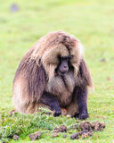 Portrait of a baboon. Scary Hamadryas baboon (Papio hamadryas), a species of baboon from the Old World monkey family royalty free stock images