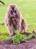 Portrait of a baboon. Scary Hamadryas baboon (Papio hamadryas), a species of baboon from the Old World monkey family stock photos