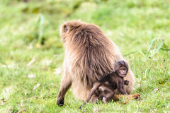 Portrait of a baboon. Baboon seats on the grass stock photo