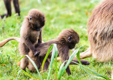 Portrait of a baboon. Two baby baboons on the green grass play royalty free stock photos