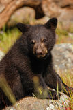 Portrait of baby American black bear Royalty Free Stock Image