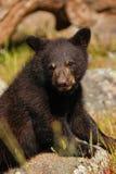 Portrait of baby American black bear Royalty Free Stock Image