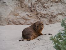Portrait of a baby Australian sea lion Royalty Free Stock Photography