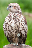 Portrait of a baby bird of a bird (Saker Falcon) Royalty Free Stock Photos