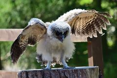 Baby brown wood owl strix leptogrammica. Portrait of a baby brown wood owl strix leptogrammica with open wings royalty free stock photos