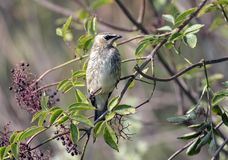 Portrait of a baby Cedar Waxwing perched in elderberry bush. A juvenile bird Cedar Waxwing perching in elderberry bush.The background is leafy green Royalty Free Stock Photography