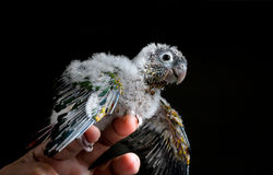 Portrait of a baby conure Stock Photos