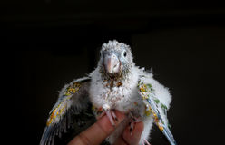 Portrait of a baby conure Stock Image