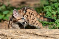 Portrait baby cougar, mountain lion. Or puma royalty free stock photography