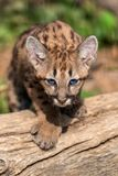Portrait baby cougar, mountain lion. Or puma stock images