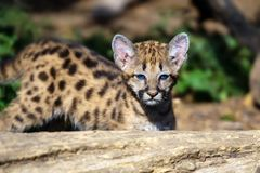 Baby cougar, mountain lion or puma. Portrait baby cougar, mountain lion or puma stock photo