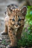 Baby cougar, mountain lion or puma. Portrait baby cougar, mountain lion or puma royalty free stock images