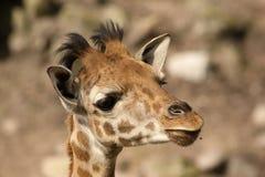 Portrait of a baby giraffe. Animals: Portrait of a baby giraffe Royalty Free Stock Photo