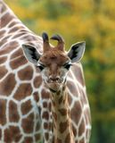Portrait of a baby Giraffe. Seen here in a head and shoulders portrait royalty free stock photos