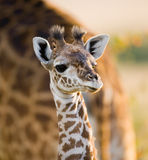 Portrait of a baby giraffe. Kenya. Tanzania. East Africa. An excellent illustration stock images