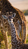 Portrait of a baby giraffe. Kenya. Tanzania. East Africa. An excellent illustration stock photography
