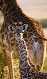Portrait of a baby giraffe. Kenya. Tanzania. East Africa. An excellent illustration royalty free stock photo