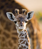 Portrait of a baby giraffe. Kenya. Tanzania. East Africa. An excellent illustration royalty free stock image