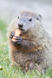 Portrait of baby Groundhog standing Royalty Free Stock Photos