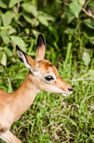 Portrait of a baby impala Stock Photography