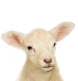 Portrait of a baby lamb. Close-up of a lamb's face. Lamb is only a few hours old Stock Images