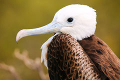Portrait of Baby Magnificent Frigatebird on North Seymour Island Royalty Free Stock Images