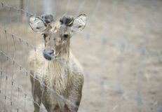 Portrait of baby male deer in paddock with blur background Royalty Free Stock Image
