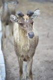 Portrait of baby male deer in paddock with blur background Royalty Free Stock Photos