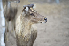 Portrait of baby male deer in paddock with blur background Stock Photography