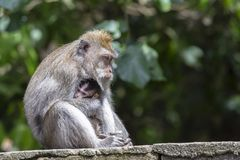 Portrait of baby monkey and mother at sacred monkey forest in Ubud, island Bali, Indonesia Royalty Free Stock Photos