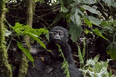 Portrait of baby mountain gorilla, Bwindi Impenetrable Forest Na Stock Photography