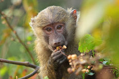 Portrait of baby olive baboon (Papio Anubis) Royalty Free Stock Photos