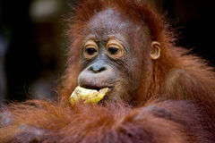Portrait of a baby orangutan. Close-up. Indonesia. The island of Kalimantan (Borneo). Royalty Free Stock Photo