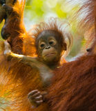 Portrait of a baby orangutan. Close-up. Indonesia. The island of Kalimantan Borneo. Stock Image