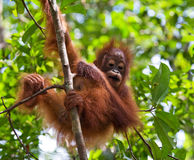 Portrait of a baby orangutan. Close-up. Indonesia. The island of Kalimantan (Borneo). Stock Photos