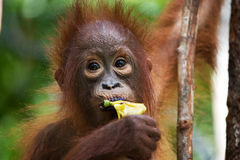 Portrait of a baby orangutan. Close-up. Indonesia. The island of Kalimantan (Borneo). Stock Images