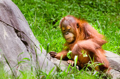 Portrait of baby orangutan Stock Photos