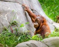 Portrait of baby orangutan Royalty Free Stock Photography