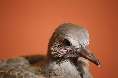 Portrait of a Baby Pigeon. A young pigeon profile in Ramotswa, Botswana, Africa stock photo