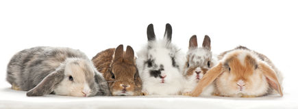 Portrait of baby rabbits Royalty Free Stock Photography